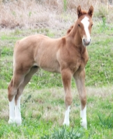 Colt from Outrageous Performance Horses